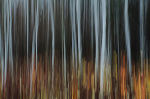 An aspen forest in autumn.  Thin white tree trunks of the quaking aspen in low light with autumnal uの写真素材 [FYI02858541]