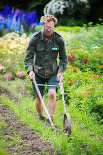 A man using a wheel hoe to hoe between rows of small flower plants in a garden.の写真素材 [FYI02858561]
