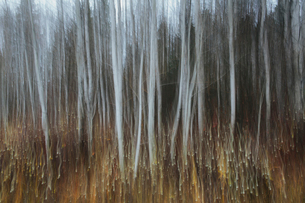 An aspen forest in autumn.  Thin white tree trunks of the quaking aspen in low light with autumnal uの写真素材 [FYI02858564]