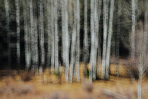 Aspen trees with pale tree trunks in woodland. Blurred motion.の写真素材 [FYI02858570]