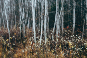 An aspen forest in autumn.  Thin white tree trunks of the quaking aspen in low light with autumnal uの写真素材 [FYI02858597]