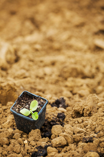 A seedling in a plant pot on top of soil.の写真素材 [FYI02858598]