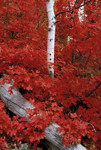 Rocky mountain maple trees and the white bark of aspensの写真素材 [FYI02858611]