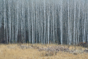 An aspen forest in autumn.  Thin white tree trunks of the quaking aspen in low light with autumnal uの写真素材 [FYI02858612]
