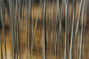 Aspen trees with pale tree trunks in woodland. Blurred motion.の写真素材 [FYI02858624]