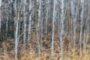 An aspen forest in autumn.  Thin white tree trunks of the quaking aspen in low light with autumnal uの写真素材 [FYI02858645]