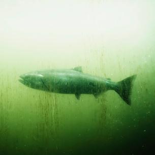 Salmon in a fish pass tank at Ballard Locks, Seattleの写真素材 [FYI02858658]