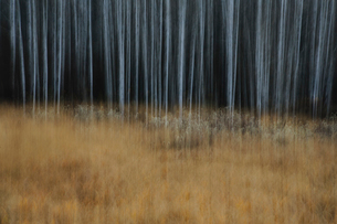An aspen forest in autumn.  Thin white tree trunks of the quaking aspen in low light with autumnal uの写真素材 [FYI02858676]