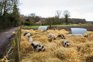Gloucester Old Spot pigs in a pen with fresh straw and metal pigsties.の写真素材 [FYI02858693]