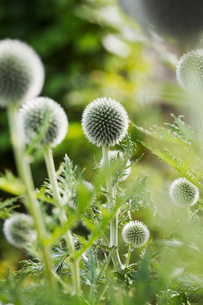 Close up of green globe thistles in a garden.の写真素材 [FYI02858699]