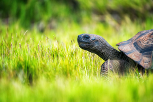 A Galapagos Tortoise walking through grass, side view of the head and part of the shell.の写真素材 [FYI02858703]