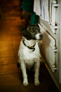 White and black Terrier sitting next to a stove in a kitchen.の写真素材 [FYI02858709]