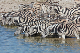 Burchell's zebra, Equus quagga burchellii, standing in watering hole drinking.の写真素材 [FYI02858733]