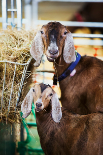 Two goats in a stable, looking at the camera.の写真素材 [FYI02858737]