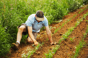 One man tending a row of small plants in a field.の写真素材 [FYI02858767]