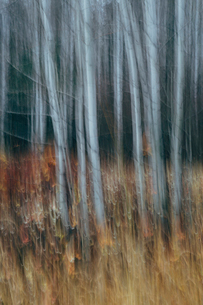 An aspen forest in autumn.  Thin white tree trunks of the quaking aspen in low light with autumnal uの写真素材 [FYI02858808]
