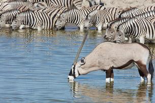 Burchell's zebra, Equus quagga burchellii, and a Thomson's gazelle, Eudorcas thomsonii, standing inの写真素材 [FYI02858867]