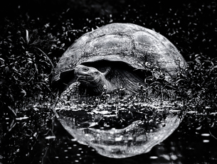 A large Galapagos tortoise approaching water, a reflection of the animal's domed shell in the surfacの写真素材 [FYI02858870]