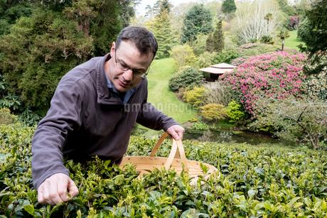 Man holding basket standing outdoors in tea plantation, carefully picking tea leaves.の写真素材 [FYI02858882]