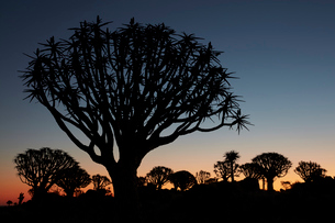 Tall African Baobab trees, Quiver trees, Adansonia, silhouettes at dusk at Keetmanshoop.の写真素材 [FYI02858889]