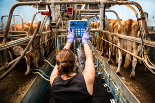 Rear view of young woman standing in a milking shed, milking Guernsey cows.の写真素材 [FYI02859089]