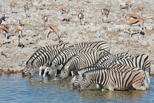 Burchell's zebra, Equus quagga burchellii, and a springbok, Antidorcas marsupialis, standing in wateの写真素材 [FYI02859220]