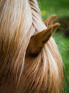 The groomed mane of an Icelandic horse.の写真素材 [FYI02859393]