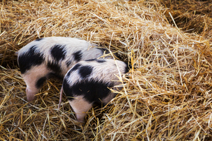 High angle close up of two Gloucester Old Spot pigs with its head burried in straw.の写真素材 [FYI02859448]
