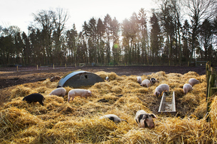 Gloucester Old Spot pigs in an open field pen with fresh straw and metal pig arks shelter.の写真素材 [FYI02859455]