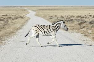 A Burchell's zebra, Equus quagga burchellii, crossing road in grassland.の写真素材 [FYI02859489]