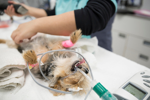 Sedated dog undergoing surgery in veterinarian clinicの写真素材 [FYI02859538]