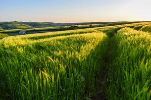 Rural landscape with view across fields of crops near Slapton, Devon at sunset.の写真素材 [FYI02859564]