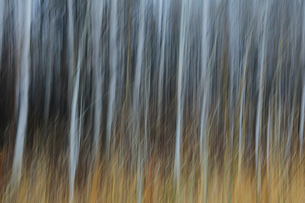 An aspen forest in autumn.  Thin white tree trunks of the quaking aspen in low light with autumnal uの写真素材 [FYI02859592]