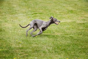 A pet dog, a sleek grey greyhound running across a lawn twisting his sleek body.の写真素材 [FYI02859702]