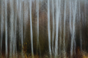 An aspen forest in autumn.  Thin white tree trunks of the quaking aspen in low light with autumnal uの写真素材 [FYI02859816]