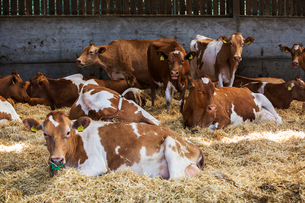 Small herd of Guernsey cows lying on straw in a barn.の写真素材 [FYI02859837]