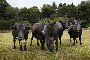 Small herd of Dexter cattle on a pasture.の写真素材 [FYI02859859]
