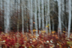 An aspen forest in autumn.  Thin white tree trunks of the quaking aspen in low light with autumnal uの写真素材 [FYI02859870]
