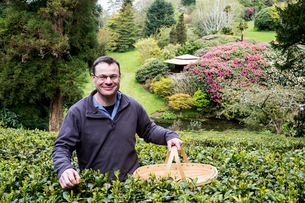 Man holding basket standing outdoors in tea plantation, carefully picking tea leaves.の写真素材 [FYI02859912]