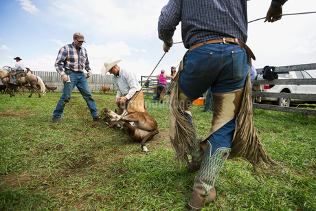 Cattle ranchers vaccinating cowの写真素材 [FYI02860090]