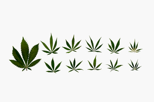 Knolling of marijuana leavesの写真素材 [FYI02860455]