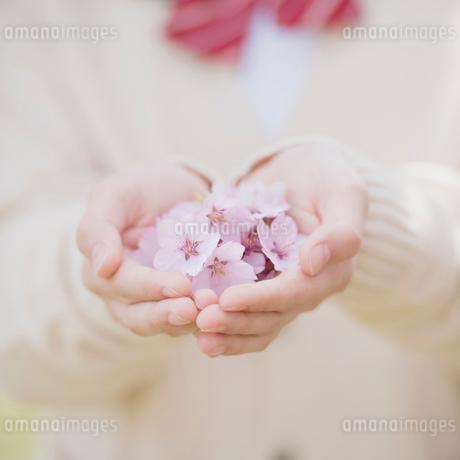 桜の花を持つ女子中学生の手元の写真素材 [FYI02860501]