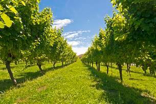 Vines in a vineyard near Gisborne, East Cape, North Islandの写真素材 [FYI02860594]