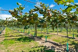 Kiwi fruits (Actinidia deliciosa), plantation with ripeの写真素材 [FYI02860609]