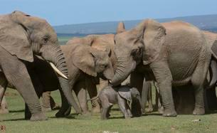 African Bush Elephants (Loxodonta africana), adults withの写真素材 [FYI02860614]