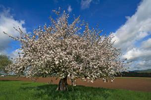 Apple tree (Malus domestica) in blossom, Bavaria, Germanyの写真素材 [FYI02860636]