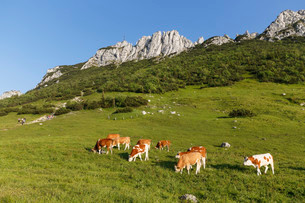 Cows on pasture, Kampenwand and Steinlingalm alpineの写真素材 [FYI02860655]