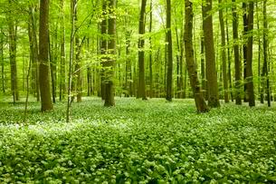 Common Beech forest (Fagus sylvatica) with flowering Wildの写真素材 [FYI02860730]
