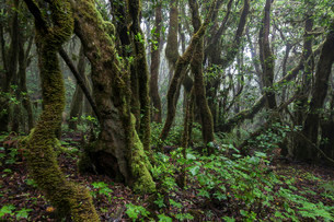 Cloud forest, laurel forest, Garajonay National Parkの写真素材 [FYI02860756]