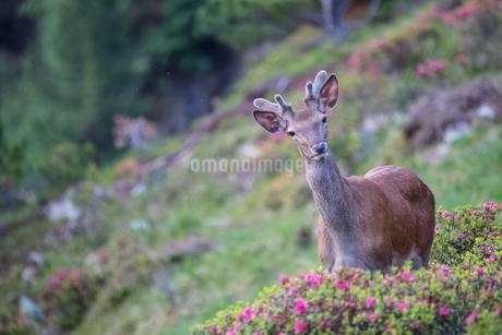 Red deer (Cervus elaphus), young deer with velvet antlersの写真素材 [FYI02860773]